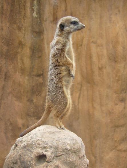 Meerkat on the watch