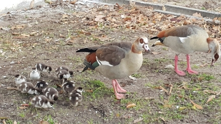 family of egpytian geese