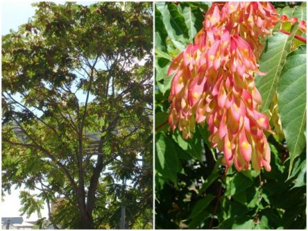 Collage - picture of tree of heaven and of its flowers