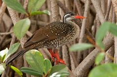 Picture of African finfoot