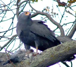 Picture of African harrier hawk
