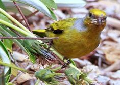 Pic of Cape Canary