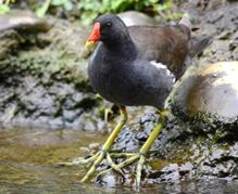 Picture of common moorhen