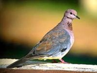 Picture of laughing dove