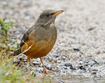 Picture of olive thrush