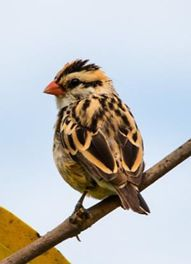 Picture of Pin-tailed whydah