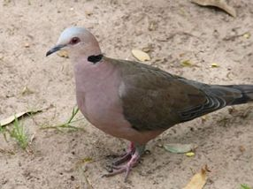 Picture of Red-eyed dove