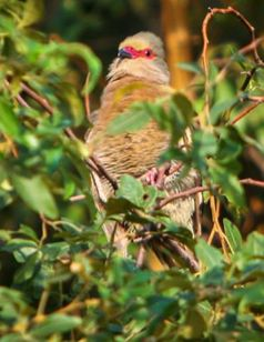 Picture of Red-faced mousebird