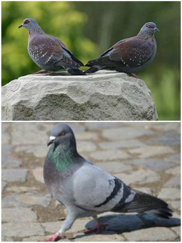 Pictures of speckled and feral pigeons