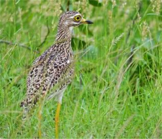 Picture of Spotted thick-knee